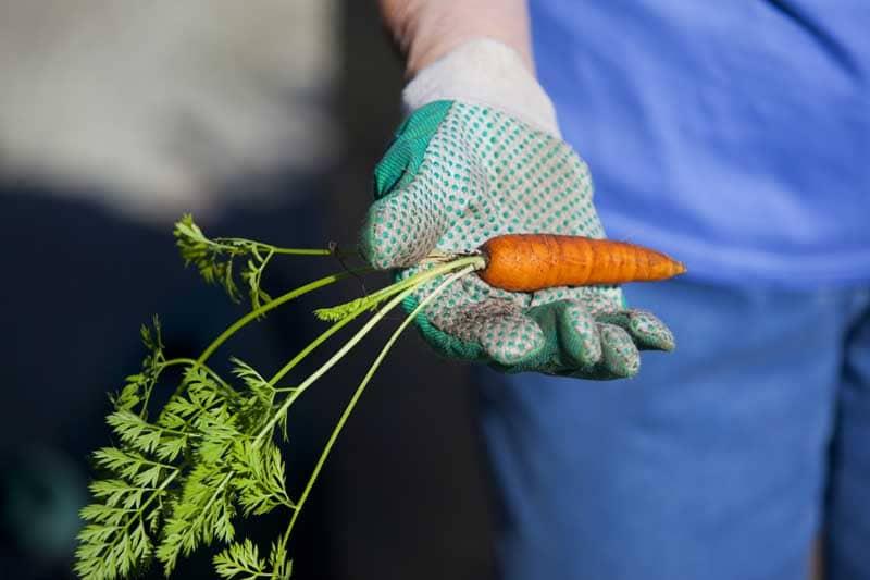 resident holding a carrot in garden
